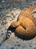 Red Diamond Rattlesnake — Stock Photo
