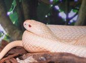 Monocled cobra (Naja Kaouthia) — Stock Photo