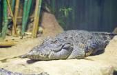 Siyam timsahı (crocodylus siamensis) — Stok fotoğraf