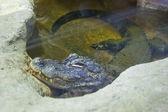 Chinese alligator (alligator sinensis) — Stock Photo