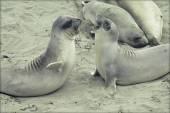 Young Elephant Seals Socializing — Stock Photo