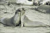 Elephant Seals Occupying A Sandy Beach — Stock Photo