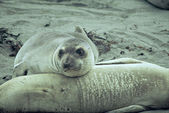 Pensive Elephant Seal Pup — Stock Photo
