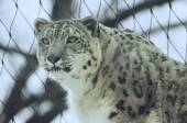 Alerted Asian Snow Leopard — Stock Photo