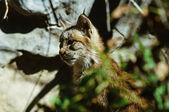 A Lynx Kitten Distraction — Stock fotografie