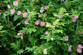 Prolific Wild Rose Bushes — Stock Photo