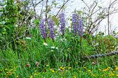 Lakeshore Blooming Lupine Wildflowers — Stock Photo