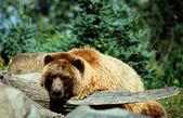 Alaskan Brown Bear Cameo — Stock Photo