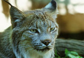 Engaging Canada Lynx Portrait — Stock Photo