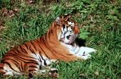 Summer Relaxing Siberian Tiger — Stock Photo