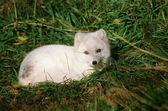 Relaxing Arctic Fox - Como Park Zoo, Minnesota — Stock Photo
