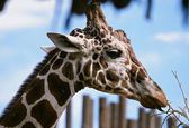 Giraffe Browsing On Twigs - Bio Park Zoo, Albuquerque — Stock Photo