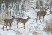 Three Bucks Standing In A Field — Stock Photo