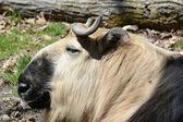 Takin Antelope Portrait - Minnesota Zoo — Stock Photo