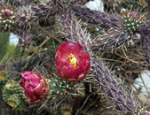Buckhorn cholla in flower — Stock Photo