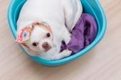 Chihuahua puppy sleep in the bucket — Stock Photo