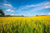 Yellow flower fields and clear blue sky background — Stock Photo