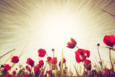 Abstract photo of low angle view of red poppies against sky with light burst — Stock Photo