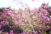 Double exposure of Spring Cherry blossoms tree. abstract background with glitter overlay — Stock Photo