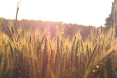 Photo of wheat field at sunrise sun burst. glitter overlay — Stock Photo