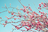 Image of Spring Cherry blossoms tree. retro filtered image, selective focus — Stock Photo