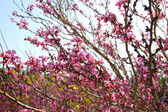 Image of Spring Cherry blossoms tree. retro filtered image, selective focus — Stockfoto