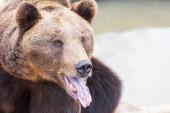 Grizzlybjörn porträtt — Stockfoto