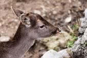 Roe deer in an enclosure,  Roe deer — Stock Photo
