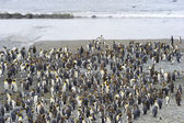 King Penguin (Aptenodytes patagonicus) colony — Stock Photo