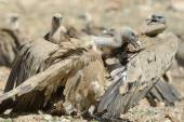 Griffon vultures fighting — Stock Photo