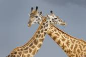 Male and female giraffe during courtship — Stock Photo