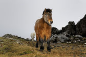 Icelandic horse portrait. — Stock Photo