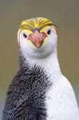 Royal Penguin (Eudyptes schlegeli) portrait — Stockfoto