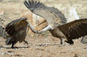Two griffon vultures threatening each other. — Stock Photo