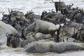 Wildebeest stucked on rocks in the Mara river — Stock Photo