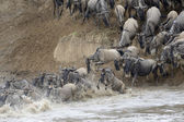 Wildebeest jumping in the Mara river — Stock Photo