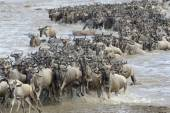 Wildebeest coming out of the river after crossing. — Stock Photo