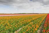 Tulip field, the Netherlands — Stock Photo