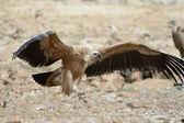 Buitre leonado — Foto de Stock