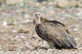 Griffon vulture on the ground — Stock Photo