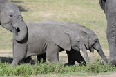 Two juvenile elephants — Stock Photo