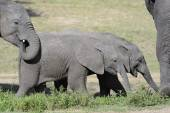Two juvenile elephants — Stockfoto
