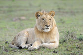Juvenile male Lion — Stock Photo
