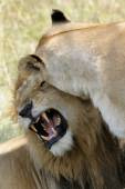Lion and Lioness in courtship — Stock Photo