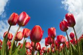 Tulip field close-up, — Stock Photo
