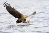 White-tailed Eagle catching fish — Stock Photo