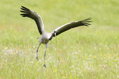 Common crane — Stock Photo