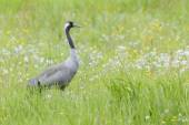 Common Crane in grassfield — Stock Photo