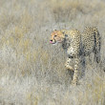 ������, ������: Cheetah Acinonyx jubatus on savanna