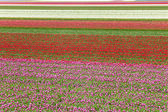 Tulips in lines in a field, Holland — Stock Photo